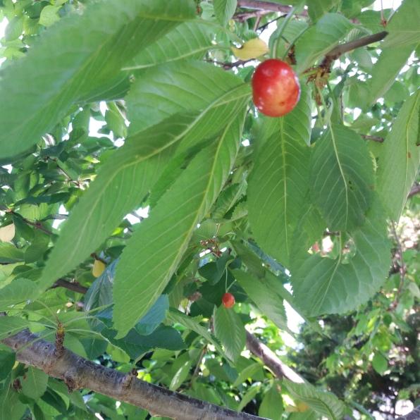 Cherry extravaganza